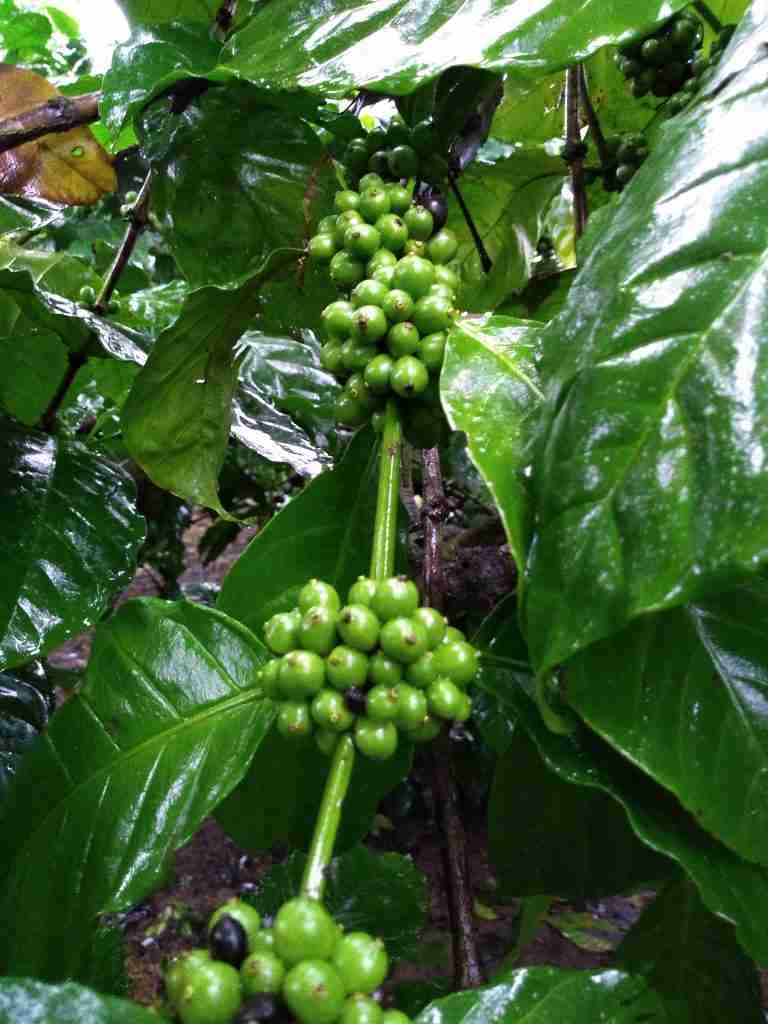 How To Grow Coffee Beans At Home Coffee Informer