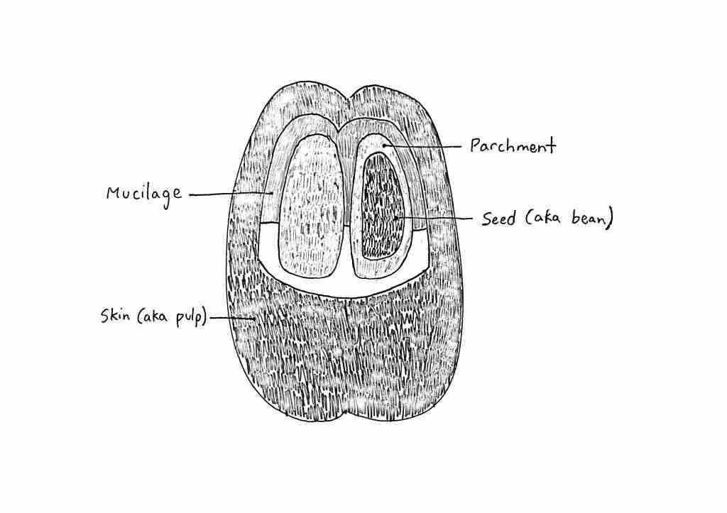 Coffee bean drawing, Structure of a coffee cherry